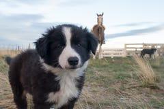 Border collie-Hündchenporträt, das Sie betrachtet Lizenzfreie Stockbilder