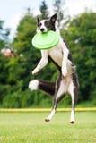Border collie-hond die frisbee in sprong vangen royalty-vrije stock afbeeldingen