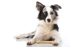 Border collie-hond met been Stock Afbeeldingen