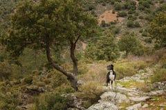 Border collie-hond onder een boom in Corsica Stock Foto