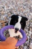 Border collie-hond speeltouwtrekwedstrijd met zijn eigenaar op het gazon van het park stock foto's