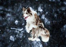 Border collie hopp på vinterbakgrund Fotografering för Bildbyråer