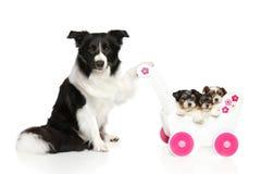 Border collie houdt babywandelwagen met puppy Stock Afbeelding
