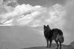 Border collie-Hund auf dem adamello Gletscher im Sommer Stockfoto