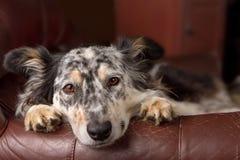 Border collie-Hund auf Lehnsessel lizenzfreie stockbilder