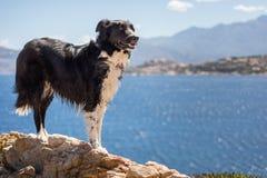 Border collie-Hund, der auf Felsen auf der Küste von Korsika steht Lizenzfreie Stockfotografie