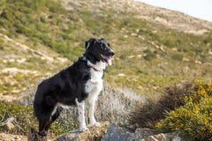 Border collie-Hund, der auf Felsen in den Hügeln von Korsika steht Stockbild