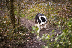 Border collie-Hund, der durch Wald läuft Stockfoto