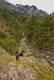 Border collie-Hund, der ein Tal in Korsika übersieht Lizenzfreie Stockfotos