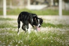 Border collie hund i den vakna positionen som ska vallas fotografering för bildbyråer