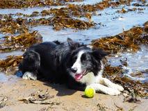 Border collie hund i havsväxt arkivbild