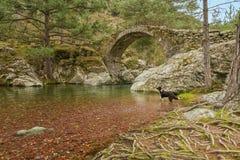 Border collie-Hund im Fluss durch Genoese Brücke Lizenzfreie Stockfotos