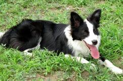 Border collie hund som ligger på gräsmattan arkivfoto