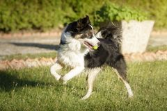 Border collie hund som spelar med en boll i en trädgård i en solig sommardag arkivfoto