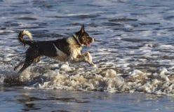 Border collie hund som tycker om havet arkivfoton