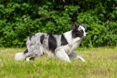 Border collie-Hundestellung in einer Wiese lizenzfreies stockbild