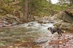 Border collie hundskovlar i floden vid bron royaltyfri bild