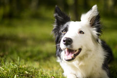 Border collie i busken royaltyfria bilder
