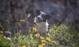 Border collie im Frühjahr stockfotografie
