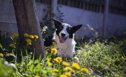 Border collie im Frühjahr stockbilder