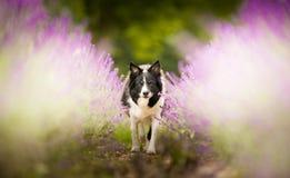 Border collie im Lavendel stockfoto