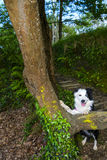 Border collie im Wald Stockfoto