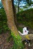 Border collie im Wald Stockfoto