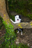 Border collie im Wald Stockbilder