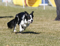 Border collie intense while running Royalty Free Stock Images