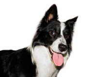 Border collie isolated Stock Photography