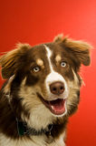 Border Collie isolated on a red background Stock Photo
