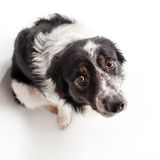 Border-collie isolated on white from above looking up into the camera. Cute obedient black and white sheepdog from above sitting in studio looking up royalty free stock images