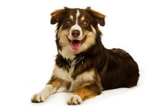 Border Collie isolated on a white background Royalty Free Stock Photography