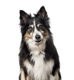 Border Collie isolated on white Royalty Free Stock Image