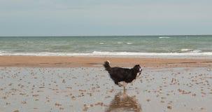 Border collie jest prześladowanym, męski bieg na plaży, Normandy, Wolny Motiion zbiory wideo