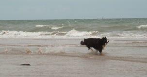 Border collie jest prześladowanym, męski bieg na plaży, Normandy, Wolny Motiion zdjęcie wideo