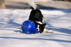 Border collie with ball stock photography
