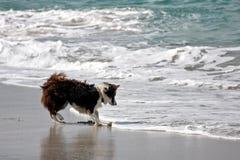 Border collie jouant en mer dans Inisheer, Irlande Images stock