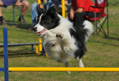 Border Collie jump Stock Image