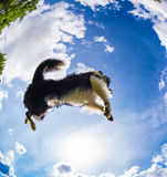 Border Collie jumping for the ball Royalty Free Stock Photography
