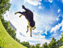 Border Collie jumping for the ball Royalty Free Stock Photos