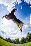 Border Collie jumping for the ball Stock Photos