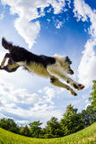 Border Collie jumping for the ball Stock Images