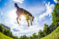Border Collie jumping for the ball Stock Image