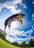 Border Collie jumping for the ball Stock Photo