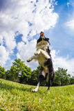 Border Collie jumping for the ball Royalty Free Stock Image