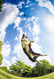 Border Collie jumping for the ball Royalty Free Stock Images