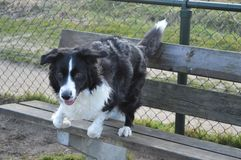 Border collie jumping from a bench Stock Photos