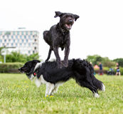Border Collie with jumping black dog. Border Collie with jumping black dog in city park royalty free stock photo
