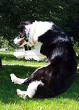 Border collie jumping Royalty Free Stock Images